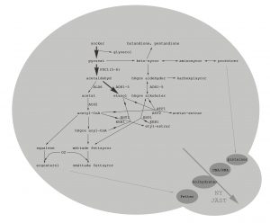 fermentative pathways glycolysis cell budding